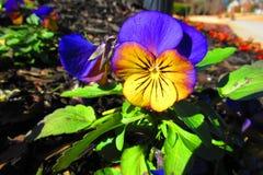 Morgonljus ljusnar en gulaktig purpurfärgad pensé i morgonen royaltyfri foto