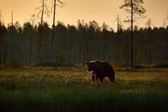 Morgonljus med den stora brunbjörnen som går runt om sjön i morgonljuset Farligt djur i naturskog och änglivsmiljö arkivbilder