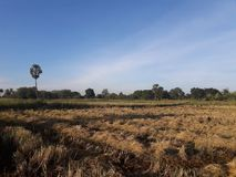 Morgonljus och risfält, når att ha skördat Arkivfoto