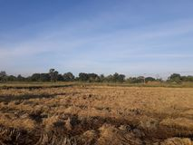 Morgonljus och risfält, når att ha skördat Royaltyfri Bild