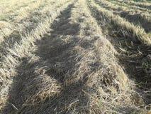 Morgonljus och risfält, når att ha skördat Royaltyfri Fotografi