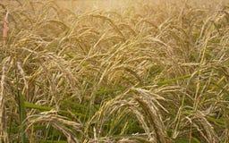 Morgonljus på örat av risfält Royaltyfri Fotografi