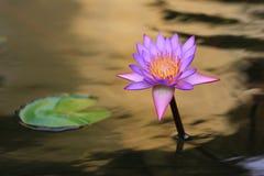 Morgonlotusblomman i Thailand Arkivbild