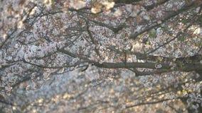 Morgonplatsen av gallerit för körsbärsröda blomningar i parkerar i Tokyo tidigt på morgonen stock video
