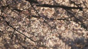 Morgonplatsen av gallerit för körsbärsröda blomningar i parkerar i Tokyo tidigt på morgonen arkivfilmer