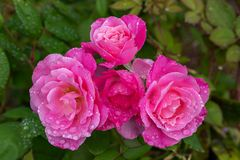 Morgonrosor i Rose Garden royaltyfri fotografi