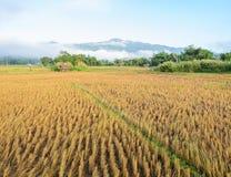 Morgonsikt av risfältet, når att ha skördat Royaltyfri Fotografi