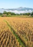 Morgonsikt av risfältet, når att ha skördat med dimma Arkivfoto