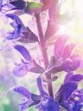 Morgonskönhet arkivfoto
