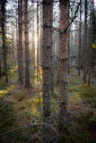 Morgonskog Fotografering för Bildbyråer