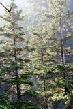 Morgonsol på skog för gammal tillväxt Royaltyfri Fotografi