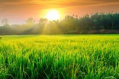 Morgonsolljus med gröna risfält Arkivbilder