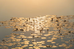 Morgonsolljus plaskade ner i lotusblommamorgonen Arkivfoton