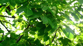 Morgonsolljus till och med valnöttreetop och filialer Gräsplansidor i fruktträdgård