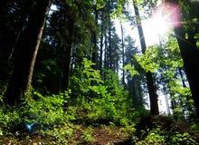 Morgonsolsken i skog Royaltyfri Foto