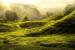 Morgonsoluppgång och grön teet för det träd och brukar Arkivbilder