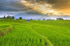 Morgonsoluppgång på risfältfält i norr bengkulu arkivfoton