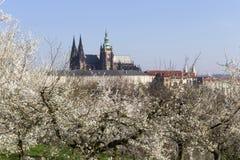 MorgonvårPrague stad med den gotiska slotten och de gröna natur- och blomningträden, Tjeckien Royaltyfri Foto