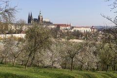 MorgonvårPrague stad med den gotiska slotten och de gröna natur- och blomningträden, Tjeckien Royaltyfria Foton