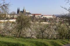 MorgonvårPrague stad med den gotiska slotten och de gröna natur- och blomningträden, Tjeckien Royaltyfri Bild