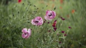 Morgonvallmoknoppar blommade Maj vallmo i ?ngen Br?cklig delikat varelse arkivbilder