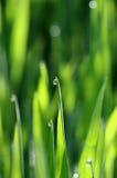 Morgonwaterdrops på ett gräs Arkivbild