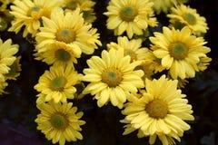 Morifolium Стоковое Изображение