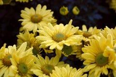 Morifolium Стоковое Изображение RF