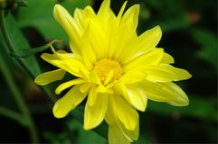 Morifolium del Dendranthema Imagenes de archivo