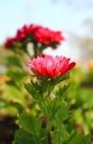 Morifoliums van de chrysant in Tuin Royalty-vrije Stock Afbeeldingen