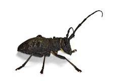 Morimus asper longhorn beetle Stock Images