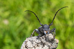 Morimus funereus. An adult of Morimus funereus, longhorn beetles, photographed when staying on a branch stock photos