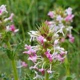 Morina longifolia, a wildflower Royalty Free Stock Images