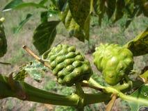 Morinda是植物当地人到波里尼西亚 免版税库存照片