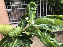 Morinda citrifolia eller ostfrukt Royaltyfria Bilder