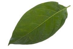 Morinda citrifolia leaf Stock Image