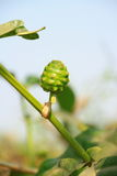 Morinda Citrifolia Linn Stock Images