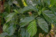 Morinda est un genre des usines fleurissantes dans la famille plus folle, noni Fruit de la Thaïlande images stock