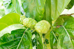 Morinda plant Royalty Free Stock Images