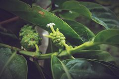 Morindacitrifolia, Noni stock afbeeldingen