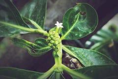 Morindacitrifolia, Noni royalty-vrije stock foto's