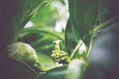 Morindacitrifolia, Noni stock foto's