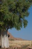 moringa结构树 免版税库存图片
