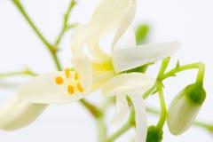 Moringa花在白色的 免版税图库摄影