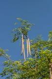 Moringa. (Бегство Moringa oleifera.) Стоковые Изображения RF