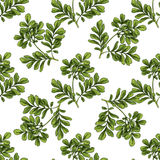 Moringa ботаническая картина безшовная иллюстрация вектора
