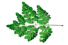 Moringa Royalty Free Stock Image