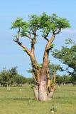 Moringa-Baum, Etosha, Namibia Lizenzfreies Stockbild