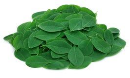 Moringa-Blätter stockbilder