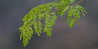 Moringa-Blätter lizenzfreies stockbild